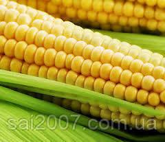 Насіння кукурузи  Подільський 274 СВ ФАО 290