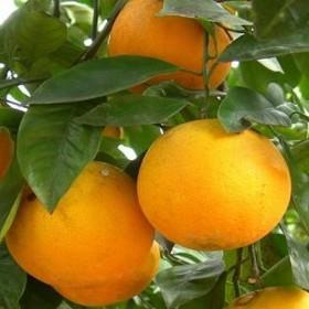 Апельсин Лайн Лате