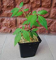 Эводия Даниэля,  медовое дерево саженцы 1 шт в горшке, фото 1