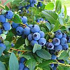 Лохина американська високоросла середньопізня Блюкроп (Bluecrop) 2-річний саджанець 10 шт/уп