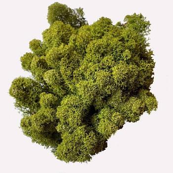 Стабилизированный мох Оливковый Ягель Норвежский 1 кг Green Ecco Moss