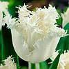 Тюльпан Swan Wings (Сван уингс) бахромчатый 3 луковицы