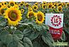 Семена подсолнечника 5663 LG ЕВРО-ЛАЙТНИНГ/CLEARFIELD®,среднепоздний. А-Е заразиха LG/Лимагрейн/Limagrain