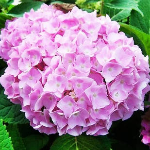 Саженцы Гортензии крупнолистной Эндлесс Саммер(Endless Summer Pink) бесконечное лето
