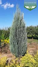 Juniperus scopulorum 'Blue Arrow', Ялівець скельний 'Блу Ароу',WRB - ком/сітка,300+см