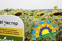 СИ Честер Chester (Круизер) - семена подсолнечника (классика, умеренно-интенсивный, A-G). Syngenta, фото 1