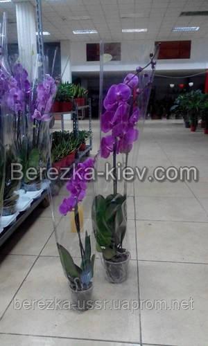 Орхидея Королевская Сиреневая