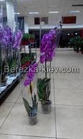 Орхидея Королевская Сиреневая, фото 1