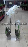 Королевская орхидея Белая