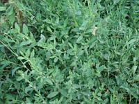 Спорыш трава, горец птичий (polygonum aviculare) Упаковка 50 гр.