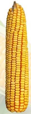 Насіння кукурузи Солонянський ФАО 310
