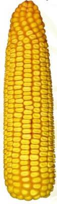Насіння кукурузи Данііл ФАО 280