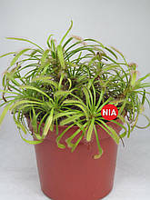 Росичка капська червона / Drosera capensis red