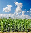 Гибрид семян кукурузы  НС 2014, фото 2