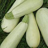 Белоплодный насіння кабачка 500 грам(5000-6000 шт) Україна, фото 2