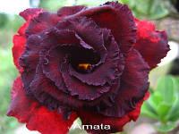 Адениум №48 Amata2 (семена 2шт)