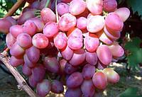 Саджанці винограду ПАРИЖАНКА понад ранній