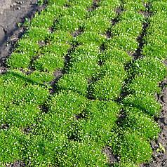 Мшанка шиловидная (Ирландский мох), ЗКС в горшках 0.5 л