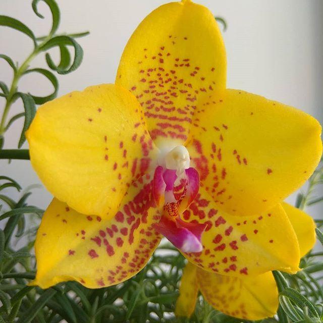 """Подростки орхидеи. Сорт T986, горшок 1.7"""" без цветов"""