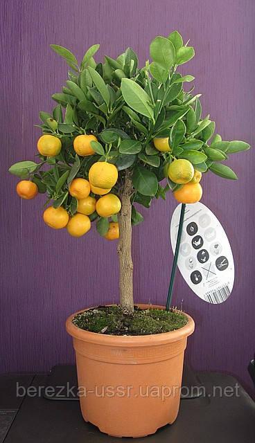 Мандариновое дерево, мандарин комнатный