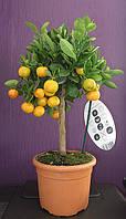 Мандариновое дерево, мандарин комнатный, фото 1