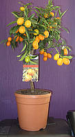 Мандарин кумкват маргарита комнатный с плодами