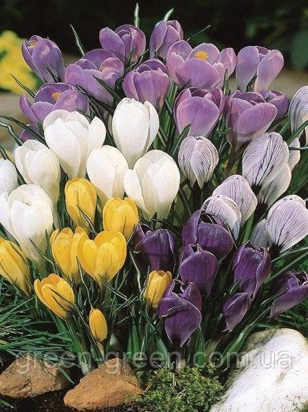 Крокус крупноцветковый микс (5шт.)