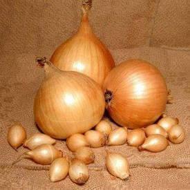 Озима пшениця цибуля саджанка (сівок, тиканка) Стурон (Broer)