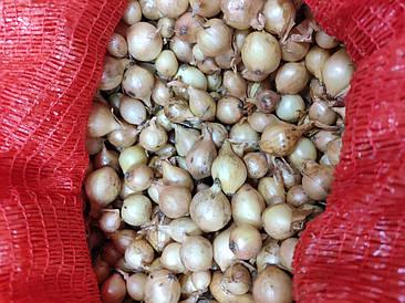 Озима пшениця цибуля саджанка (сівок, тиканка) Штутгартен Стенфілд, 1 кг