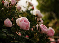 Миниатюрные розы: лучшие сорта