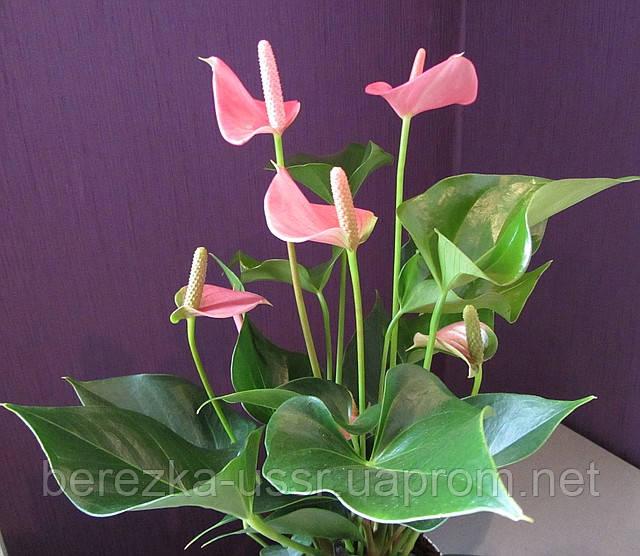 Антуриум розовый (70см.)