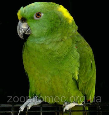 Выставлены на продажу птенцы Попугаев Амазонов Желтошейных-самых говорящих амазонов