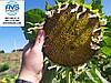 Семена подсолнечника ЕС СУПРА под Гранстар 50грамм. Гибрид высокоурожайный 45ц/га, устойчив к заразихе рас A-G