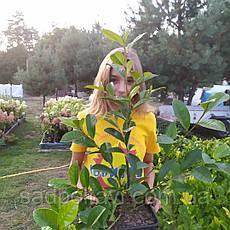 Magnolia Сказочная Белая Фея /Fairy White Blush/ в конт.5л, фото 3