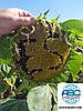 Гибрид ЕС СУПРА Сумо 50грамм. Подсолнечник урожайный 45 ц/га ЕС СУПРА устойчивый к семи расам заразихи A-G.