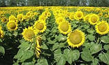 Семена подсолнечника ЯСОН 20 кг АСП (станд) 76-19, фото 2
