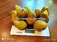 Набор №5  черенков инжира, фото 1