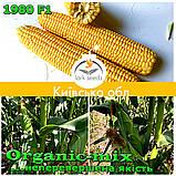 Семена, сахарной кукурузы 1980 F1 (США), фермерская упаковка (2 500 семян), ТМ Spark Seeds, фото 3