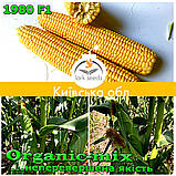 Семена, сахарной кукурузы 1980 F1 (США), фермерская упаковка (25 000 семян), ТМ Spark Seeds, фото 3