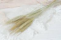Сухоцвет колосок натуральный 10 шт, фото 1