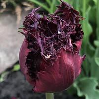 Тюльпан Бахромчатый Black Jewel, луковица