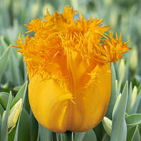 Тюльпан Бахромчатый Hamilton, луковица