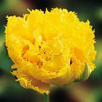 Тюльпан Тюльпан Махровый Бахромчатый Moonamour, луковица