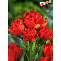 Тюльпан Тюльпан Махровый Многоцветковый Toronto Double, луковица
