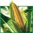 Семена кукурузы на силос НС 300 , фото 2