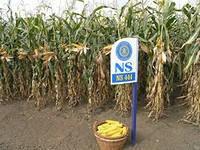 Гибрид семян кукурузы на посев НС 101 (ФАО 280) 2015 г.у.