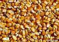 Гибрид семян кукурузы на посев НС 101 (ФАО 280) 2015 г.у., фото 2