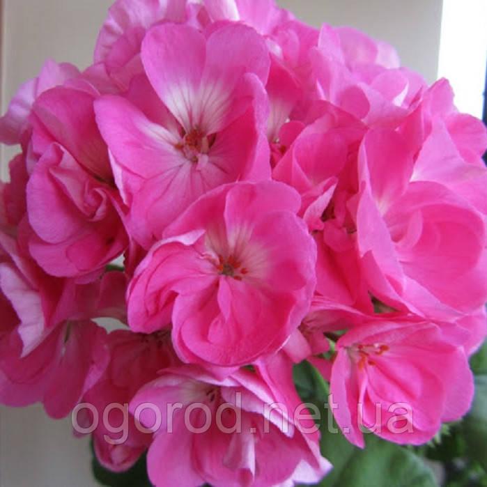 Пеларгония(Герань) Апачи F1 семена Hem Zaden Голландия 20 шт Насыщенно розовая