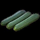 KS 930 F1 5 шт насіння огірків Kitano Голландія, фото 2