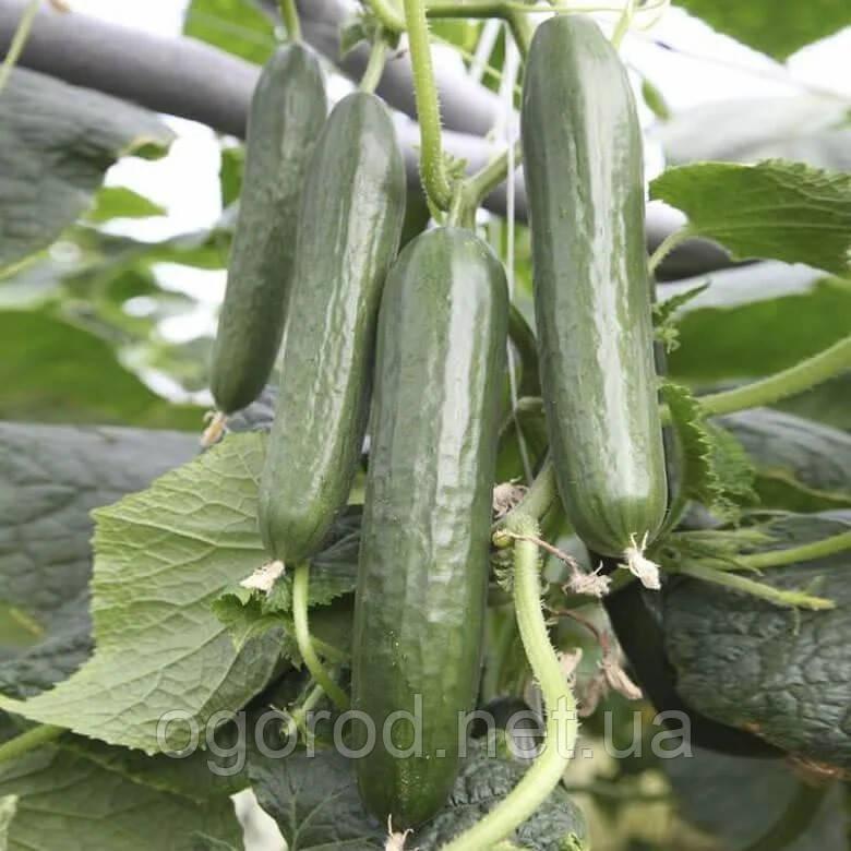 KS 930 F1 5 шт насіння огірків Kitano Голландія